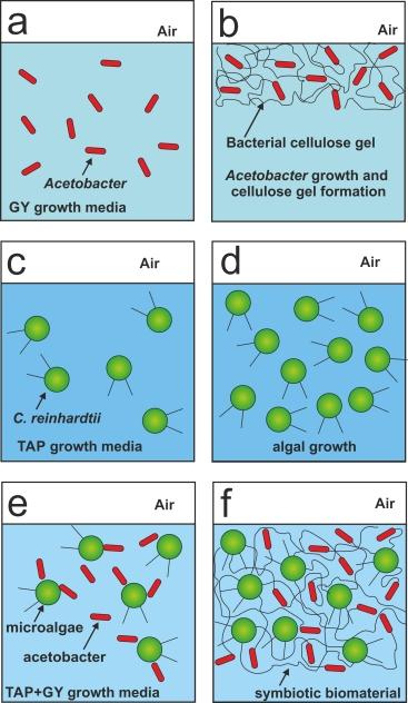 Artificial leaf-Living soft matter scheme