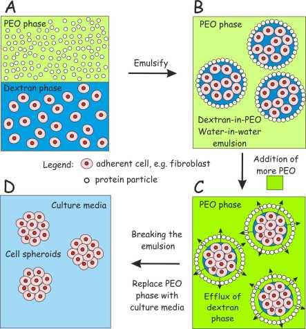 Cell spheroids scheme