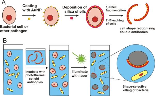 colloid antibodies