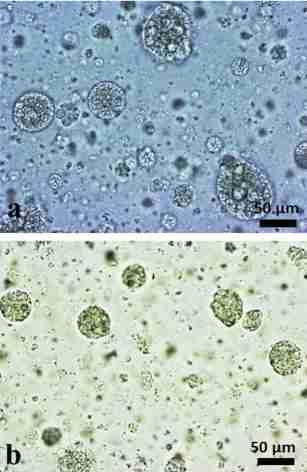 HEK293 tissue spheroids