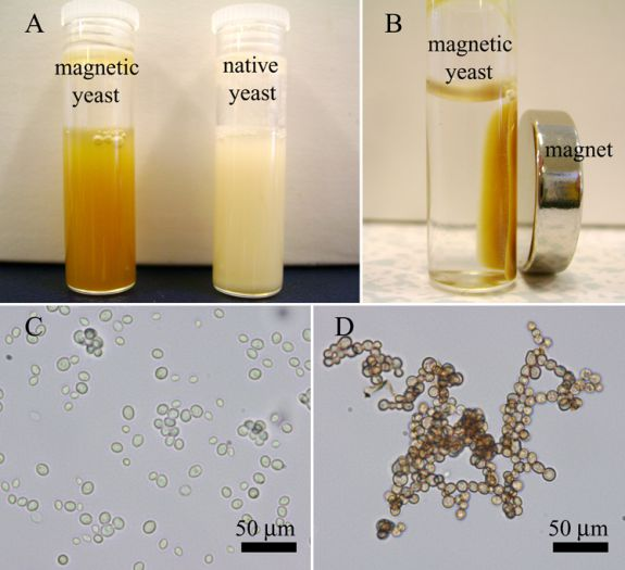 magnetic yeast