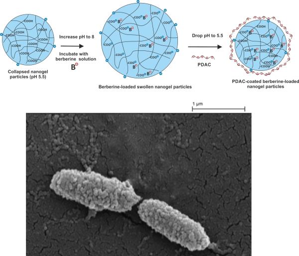 Berberine nanocarriers 1