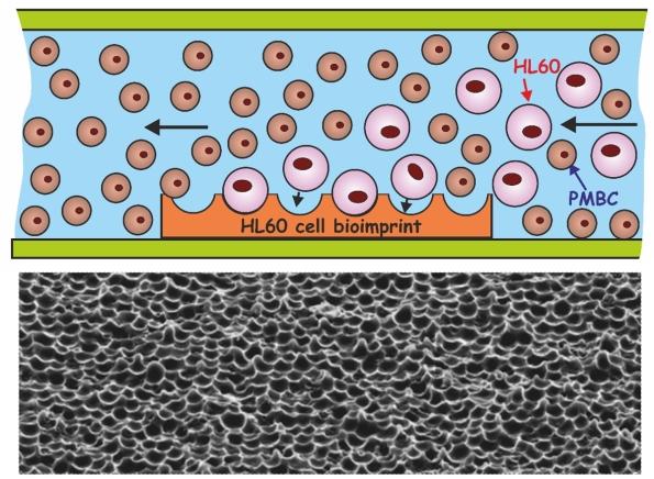 HL60 bioimprints